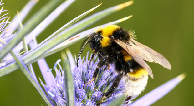 Zanieczyszczenie powietrza zniechęca owady do zapylania kwiatów