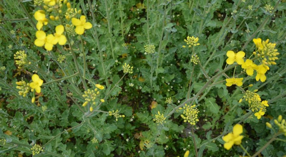 Chowacz podobnik w rzepaku – rośliny niskie, bo sucho