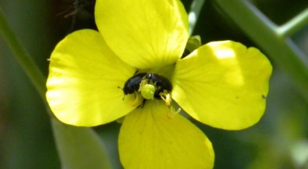 Odporność szkodników rzepaku na insektycydy