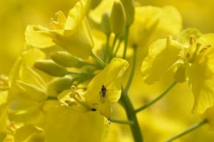 Insektycydy przeciwko chowaczowi podobnikowi i pryszczarkowi kapustnikowi