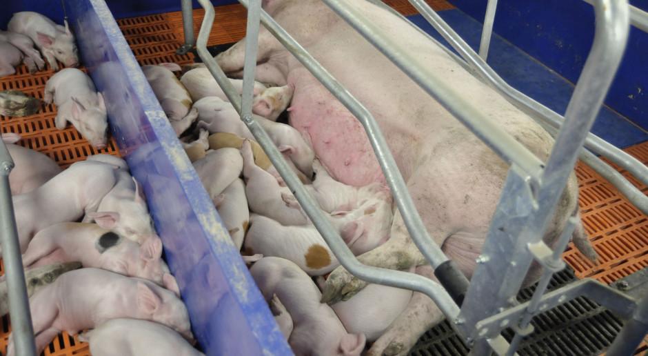 Topigs Norsvin: Zasiedlamy fermy zwierzętami w statusie SPF