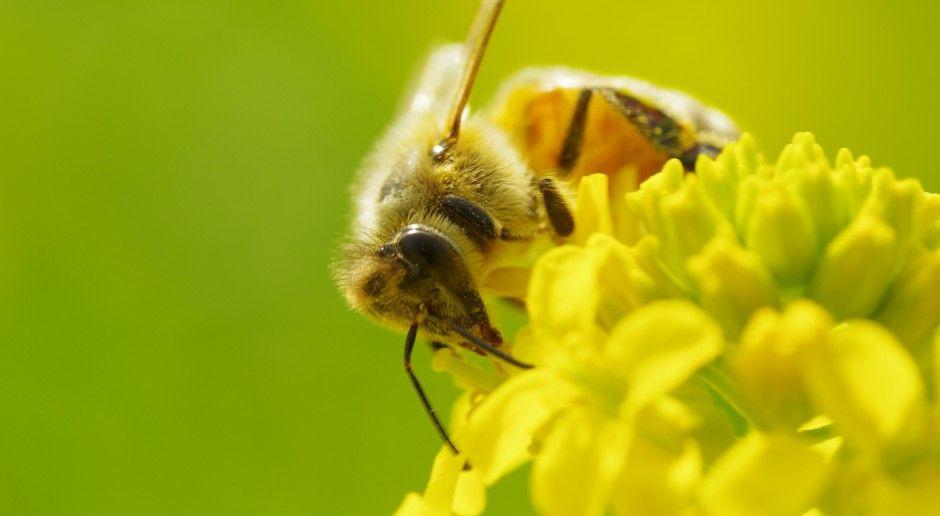 Podczas zabiegów ochrony roślin uważaj na owady zapylające