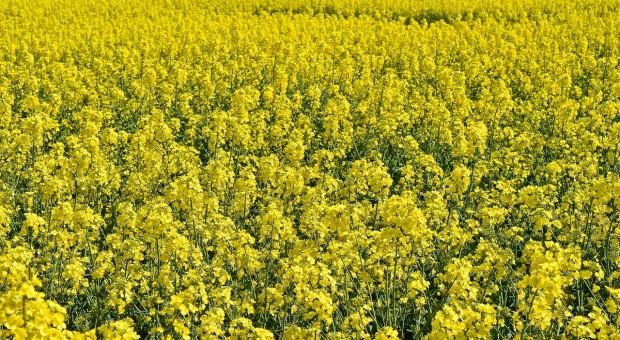 Kanada: Rolnicy masowo zmniejszają powierzchnię uprawy rzepaku