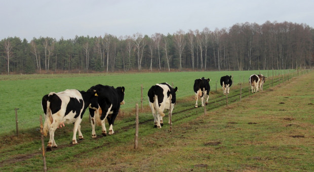 Prof. Elżanowski: decyzja o wybiciu stada krów z Deszczna powinna być dawno uchylona