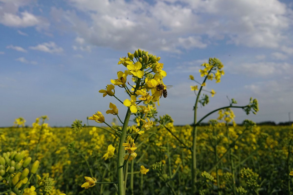 Współpraca plantatorów rzepaku z pszczelarzami