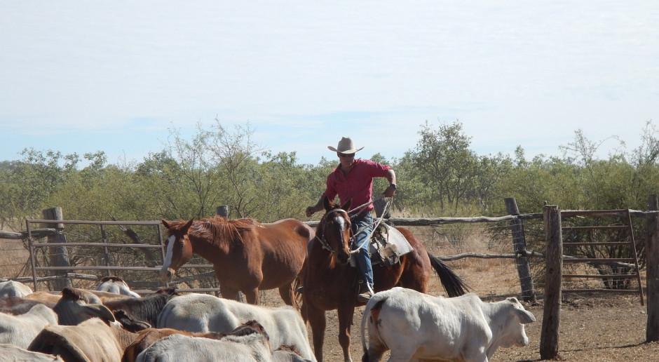 Australia: Załamuje się hodowla bydła