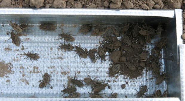Szarek komośnik żeruje już w rejonie Cukrowni Krasnystaw