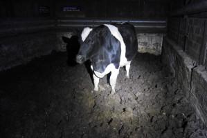 Krowy stały w oborach po kolana w odchodach, zdjęcia: Służba Ochrony i Ratownictwa Zwierząt Animal Rescue Polska