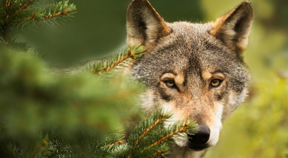 Szefowa zespołu przyjaciół zwierząt pyta o odstrzał wilków
