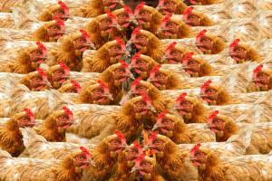 Ptasia grypa w Belgii
