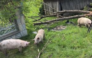 Kilka świń uciekło z uszkodzonej naczepy
