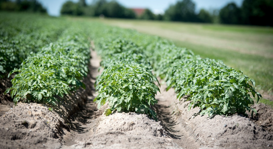 Niemieccy naukowcy opracowują odporne na niekorzystną temperaturę  ziemniaki