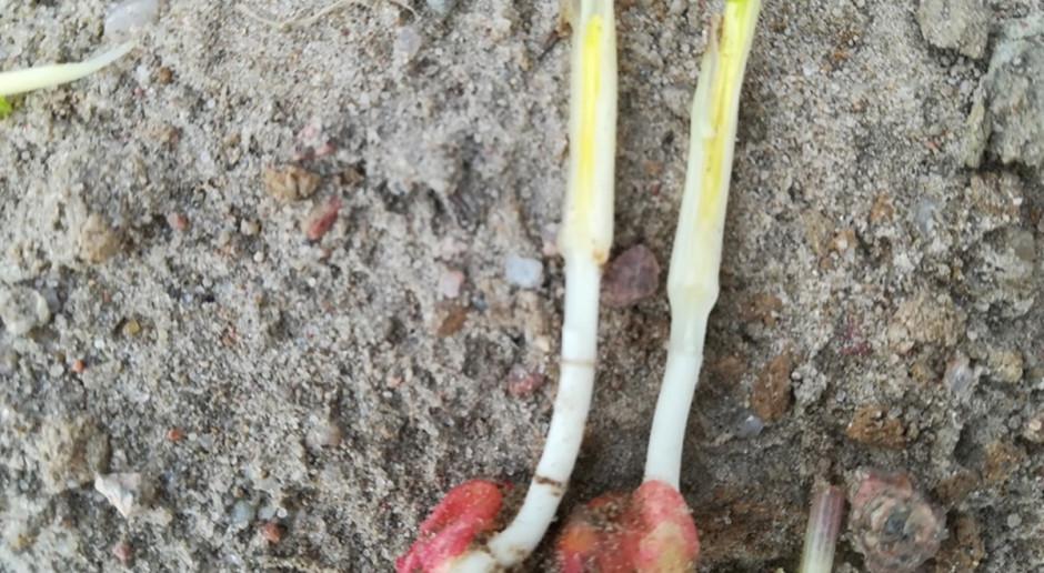 Stożek wzrostu w przypadku tych roślin jest żywy, rośliny wkrótce się zregenerująFot. A. Kobus