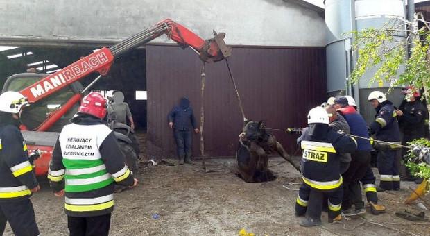 Byki wpadły do kanału na gnojowicę, ratowali je strażacy