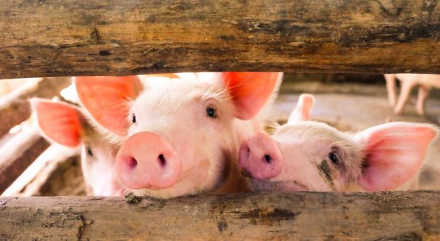 Wietnam: z powodu ASF wybito 1,2 mln sztuk trzody chlewnej