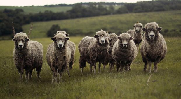 IERiGŻ: Maleje różnica cen owiec ciężkich w UE i Polsce