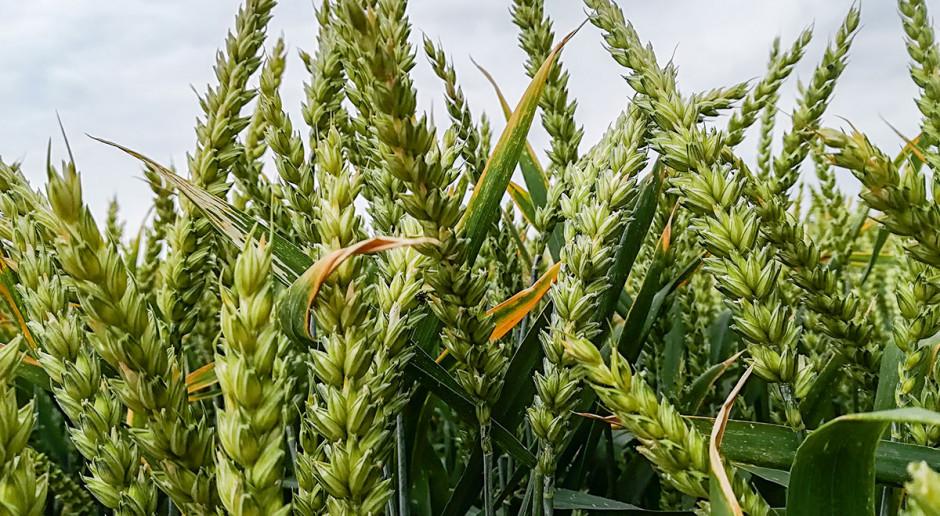 Bor ważny także dla zbóż