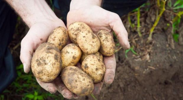 Jak wygląda rynek ziemniaka?