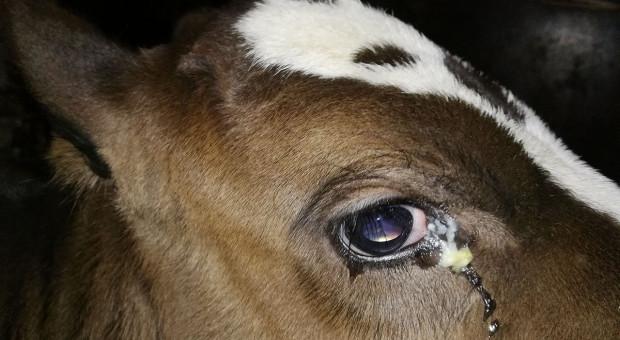 Dlaczego krowom ropieją oczy?