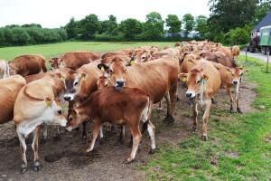 Alternatywne rasy bydła mlecznego: jersey