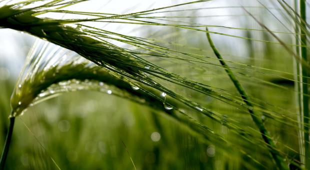 Spadek cen pszenicy na światowych giełdach