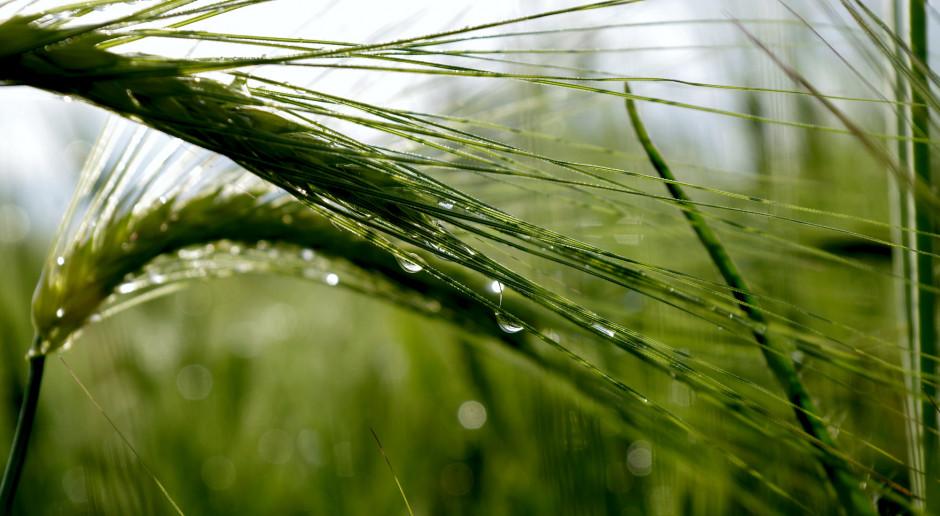 Ceny pszenicy na świecie wyznaczają nowe minima