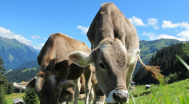 Szwajcaria: Naukowcy badają wpływ stresu cieplnego u krów mlecznych