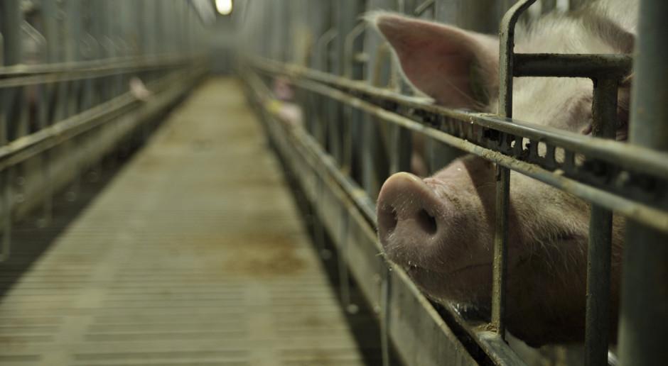 Ognisko ASF w dużym stadzie świń, w woj. warmińsko-mazurskim