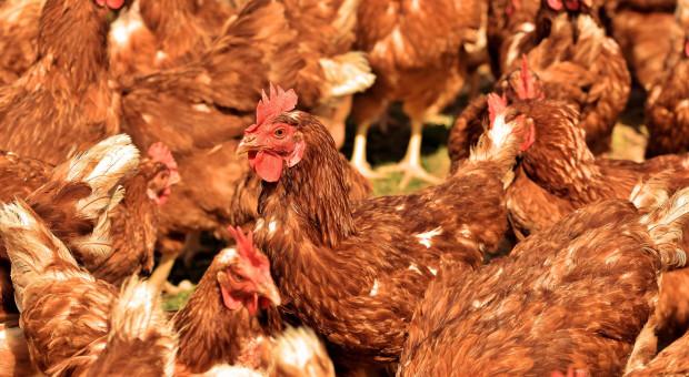 NIK: w 5 województwach wojewodowie oraz Inspekcja Weterynaryjna właściwie ograniczali grypę ptaków