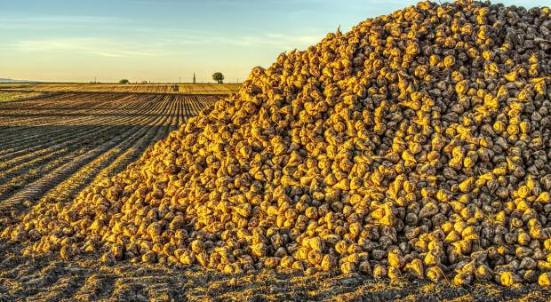 Francja: Plantatorzy składają  ofertę przejęcia cukrowni