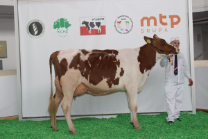 Czempion w kategorii krowy w I laktacji rasy polskiej holsztyńsko-fryzyjskiej odmiany czerwono – białej
