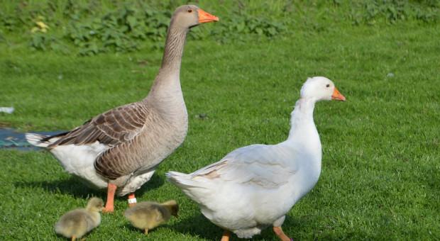 Grypa ptaków pod kontrolą, także NIK