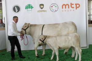 Czempion w kategorii krowa z cielęciem rasy Charolaise