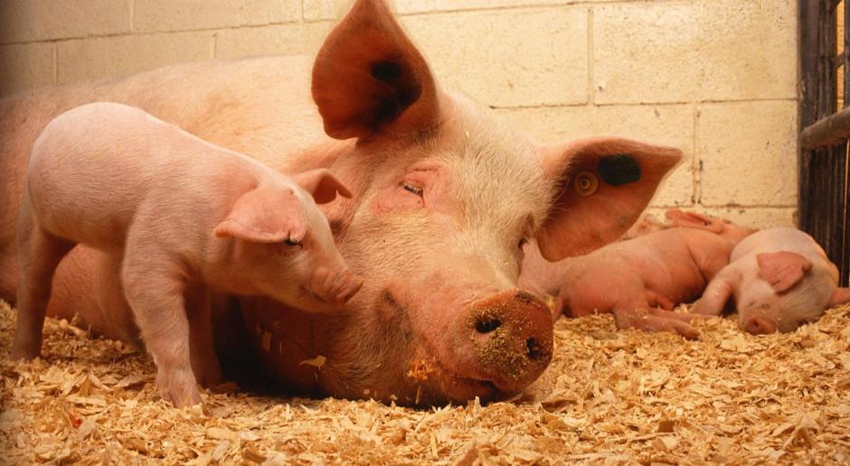 Znaczny spadek pogłowia świń w Danii