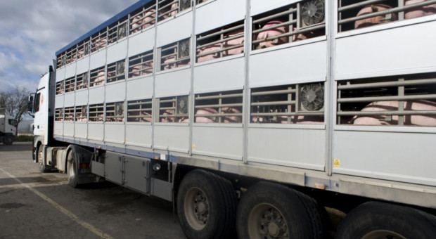 Prawie 21 tys. świń zablokowano w wyniku ostatniego ogniska ASF