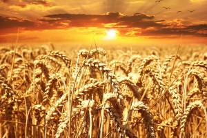 Coceral: Wyższa prognoza produkcji zbóż niż w marcu 2019 r.