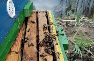 Zginęło około ćwierć miliona pszczół  Foto: właściciel pasieki