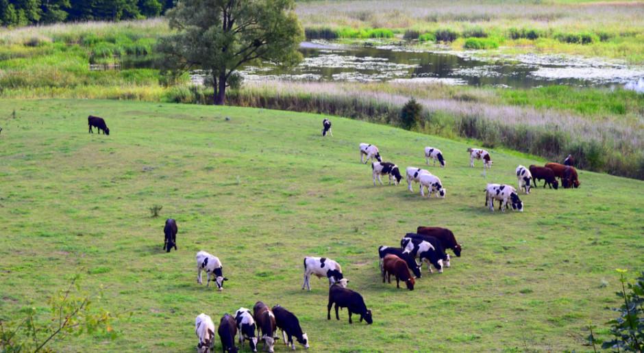 Główny Lekarz Weterynarii: nie ma decyzji w sprawie bezpańskich krów z Deszczna