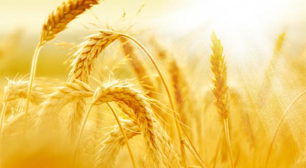 Duży wzrost ceny pszenicy na giełdzie w Paryżu