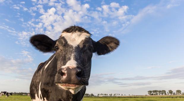 Główny Lekarz Weterynarii: nie ma merytorycznych przesłanek do zmiany decyzji ws. krów z Deszczna