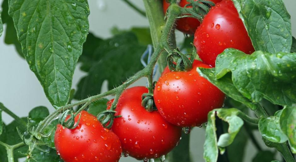 Megaszklarnie z pomidorami zajmą 20 ha pod Kozienicami