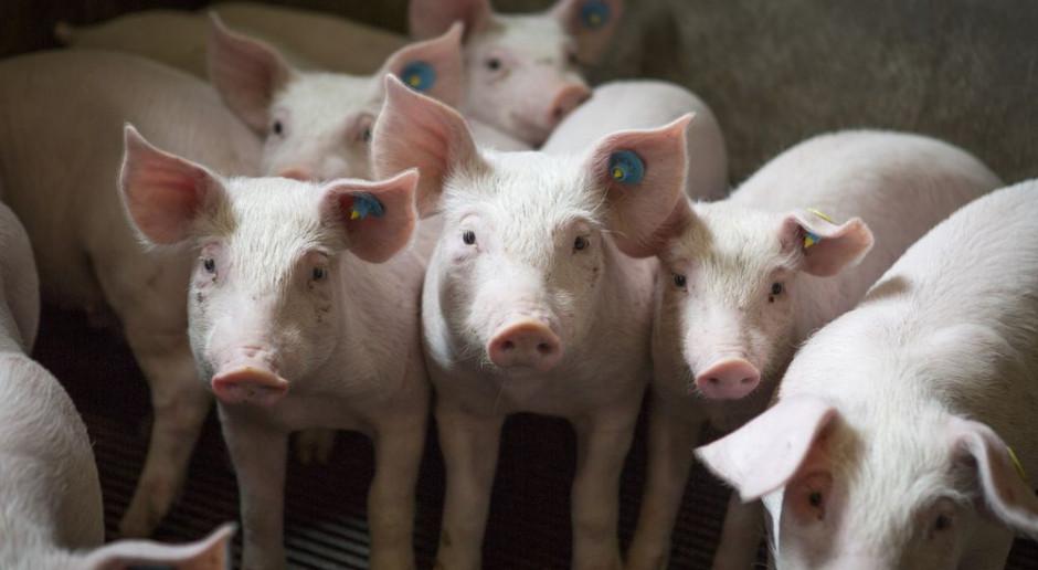 Ognisko ASF w stadzie liczącym aż 8 tysięcy świń