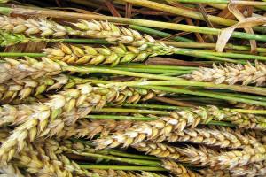 Zabieg T3 w uprawie zbóż