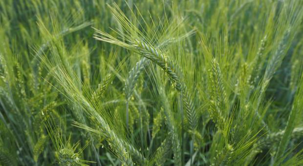 Kolejne mocne wzrosty cen amerykańskich zbóż