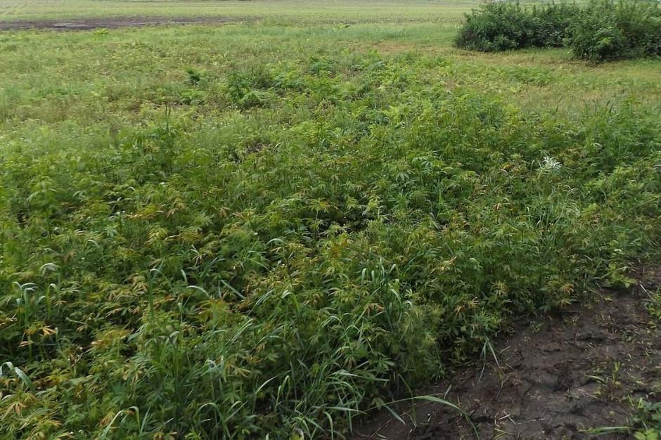 Nielegalne rośliny znaleziono na łące i w polu  Foto: Policja
