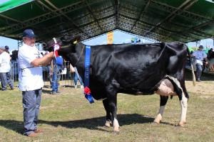 Czempion w kategorii krowy PHF odmiana HO w III laktacji i dalszej