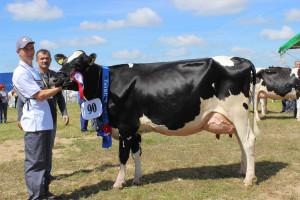 Czempion w kategorii krowy PHF odmiana HO w II laktacji oraz superczempion wśród krów