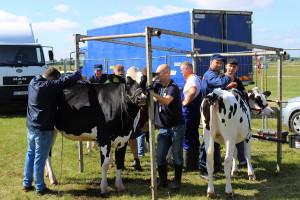 Przygotowania bydła do wystawy przez wykwalifikowaną kadrę fitterów