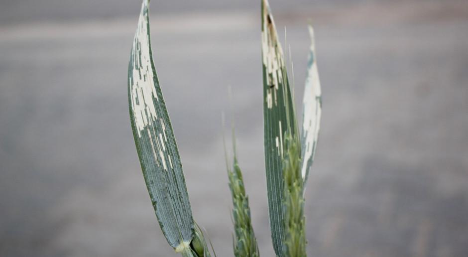 Jedna larwa skrzypionki może zniszczyć do 3,5 cm2 powierzchni liścia. Kilka larw na liściu jest w stanie zeskrobać cały miękisz Fot. A. Kobus