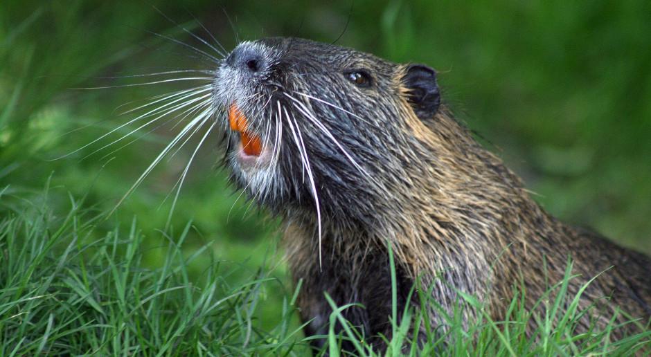 PO: wypowiedź ministra rolnictwa o bobrach - kuriozalna, to efekt upałów